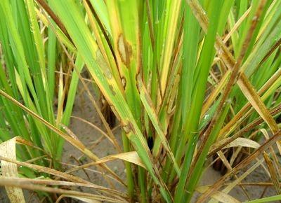 水稻纹枯病如何防治