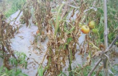 如何防治番茄(西红柿)根线虫病?