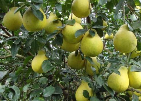 沙田柚疮痂病症状主要有哪些?农户们该怎么防治?