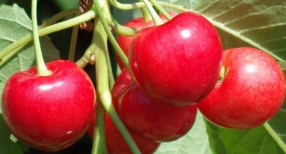 大樱桃采摘后,如何加强管理让来年丰产稳产?