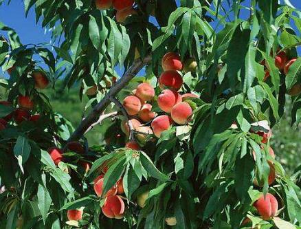 桃树根瘤病是线虫因起的吗