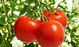 西红柿苗期防止根线虫的最佳药物