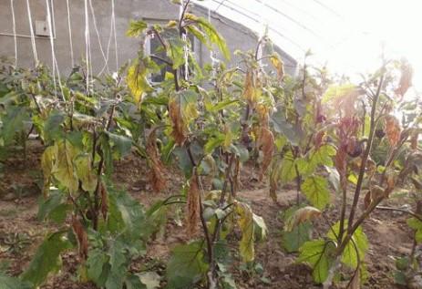 茄子根结线虫病的发生与综合防治
