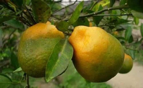 柑橘黄龙病症状有哪些