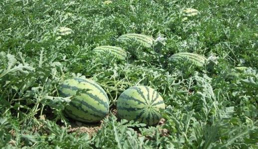 把握露地西瓜田间管理的三个关键期,种出好西瓜