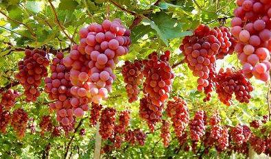 红提葡萄树春、冬两季如何进行修剪?