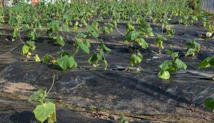 防治蔬菜根结线虫什么药效果好