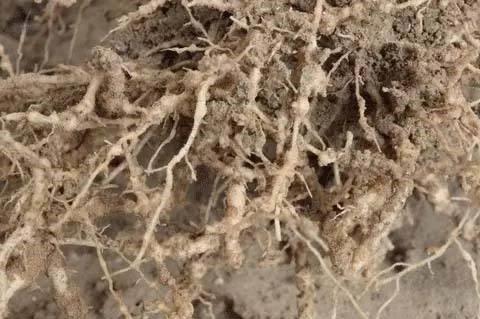 根结线虫用阿维菌素防治效果如何