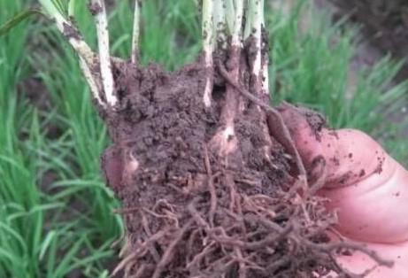韭菜根生了根结线虫用什药防治最好