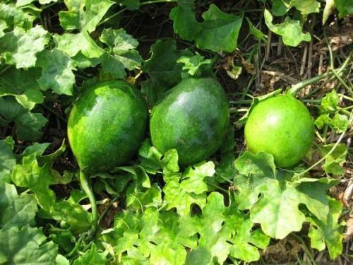 瓜蒌线虫防治方法