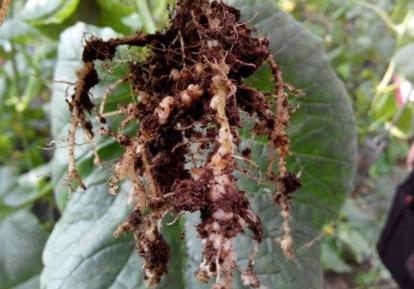 香瓜根线虫用什么药
