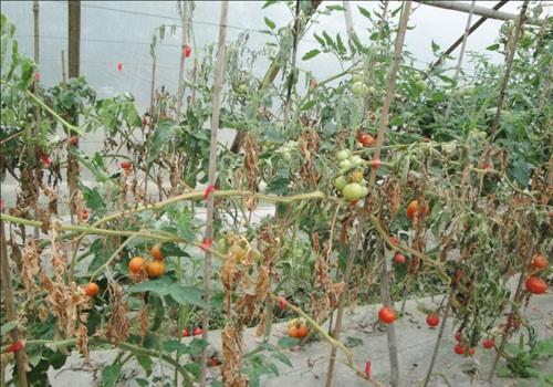 番茄根结线虫的危害与防治