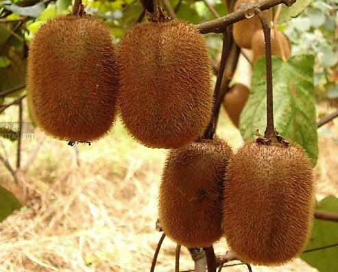 猕猴桃小苗的根线虫怎么治