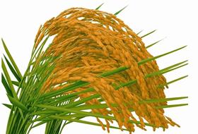 水稻各生育期病虫害防治(病虫全程解决方案)