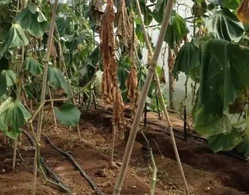 大棚黄瓜根结线虫用什么药好