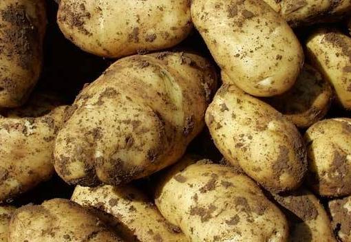 马铃薯会得线虫吗