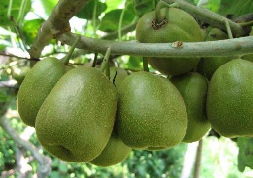猕猴桃树线虫几月份防治