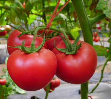 番茄脐腐病防治