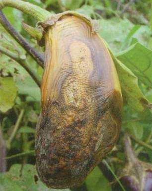 茄子炭疽病的病症以及防治方法