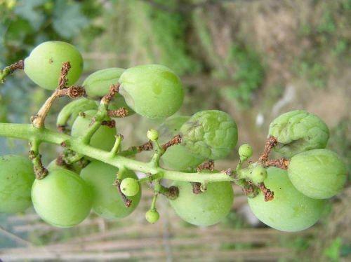 葡萄霜霉病的发生与防治