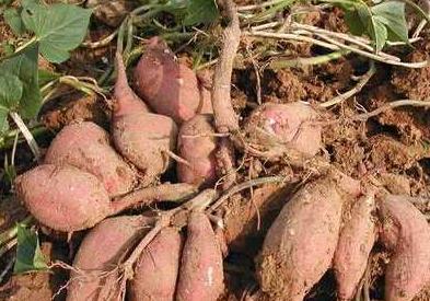红薯怎么防治线虫病用什么药物