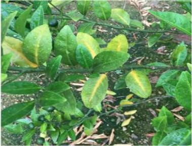 柑子有线虫用什么药