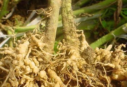 蔬菜根结线虫