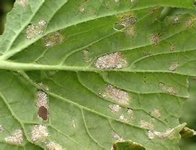 白萝卜霜霉病怎么识别和防治