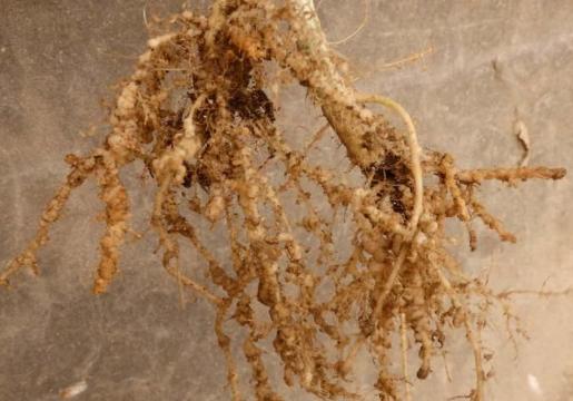 什么药可以铲除根结线虫