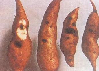 甘薯疮痂病