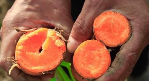 怎么防治萝卜空心病