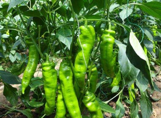 青椒得了根线虫怎么治