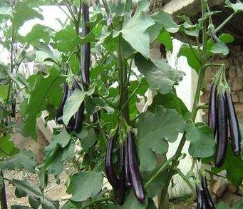 紫茄根结线虫