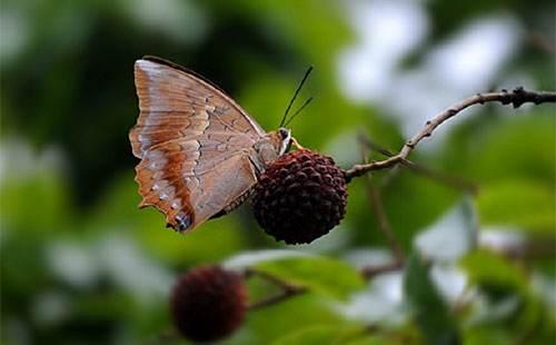 荔枝小灰蝶
