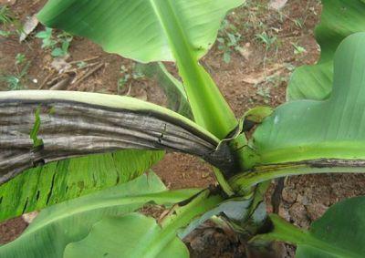 香蕉花叶心腐病的症状及防治方法