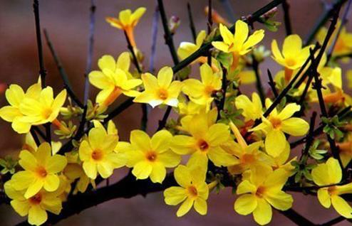 迎春花是什么颜色