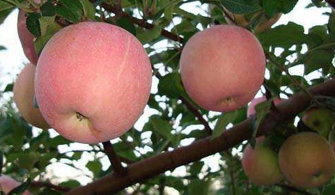苹果树修剪技术