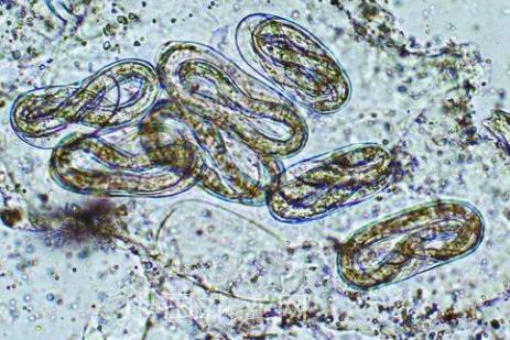 根线虫用菌剂怎么处理