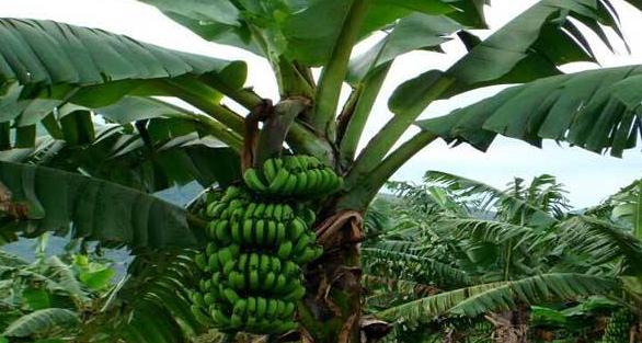 香蕉线虫对什么药最敏感