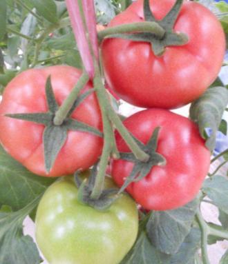 高抗西红柿根线虫品种