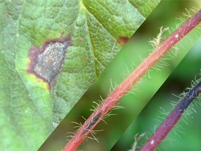 草莓炭疽病怎么办?