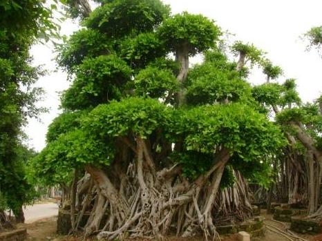 榕树的养殖方法和注意事项