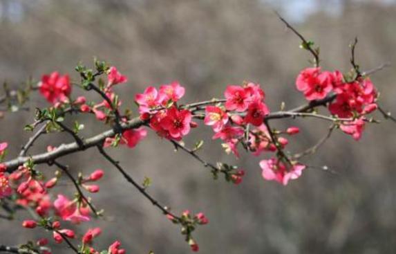 海棠花什么时候开最好看?