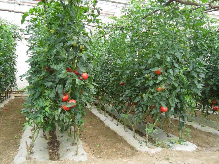 如何防治大棚番茄的根线虫