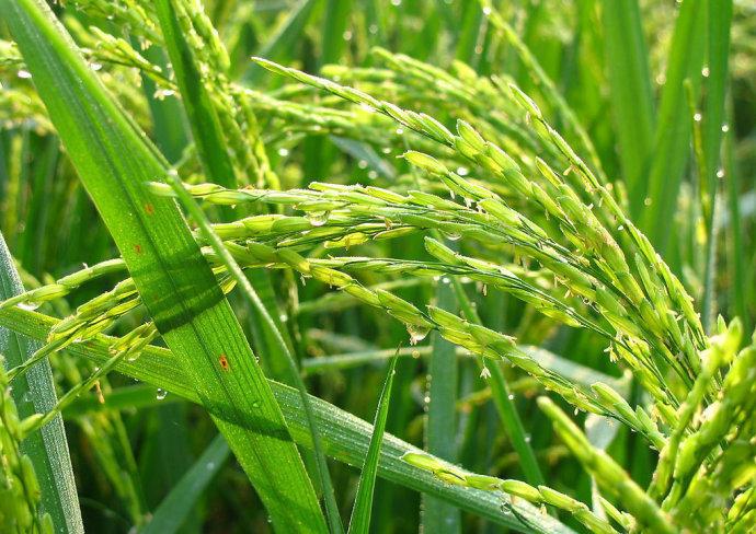 种植水稻卡通图片