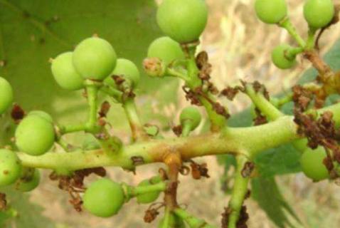 葡萄穗轴褐枯病