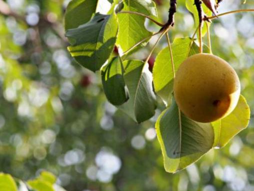 梨树蔸子有根瘤怎么防治