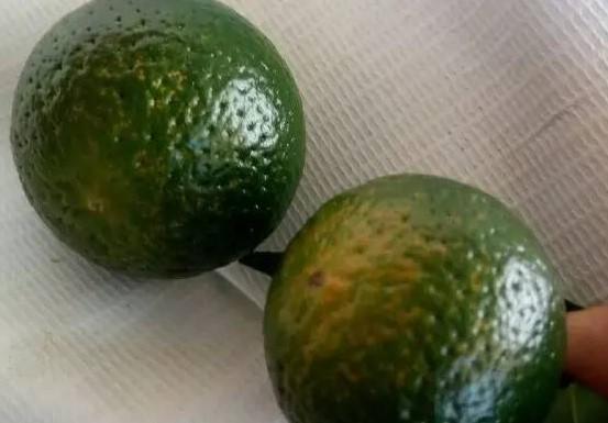 柑桔脂点黄斑病怎么防治