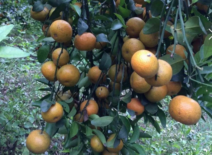 柑橘膨果着色期施肥管理