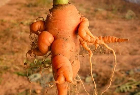 胡萝卜线虫防治